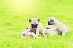 Cute puppy brown Pugs in garden. Cute puppy brown Pugs playing together in garden stock images