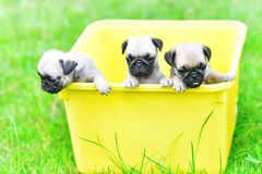 Cute puppy brown Pugs. Playing in yellow bucket royalty free stock images