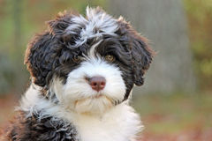 Cute Puppy with Big Brown Eyes. A cute brown and white Portuguese Water Dog puppy looking at the camera with big brown eyes Royalty Free Stock Image