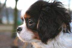 Cute puppy - cavalier king charles spaniel puppy in the park Stock Image