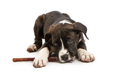 Cute Puppy Chewing on Bully Stick Stock Photo