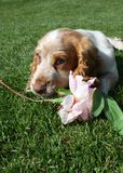 Cute puppy chewing flower Royalty Free Stock Photography