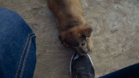 Cute puppy chewing sneakers