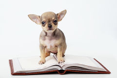 Cute puppy chihuahua reading book Royalty Free Stock Photography