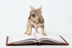 Cute puppy chihuahua reading book Stock Photography