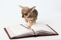 Cute puppy chihuahua reading book Royalty Free Stock Images