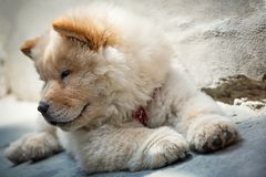 Cute puppy chow chow Royalty Free Stock Images