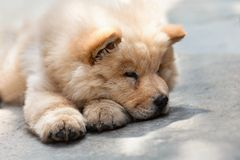Cute puppy chow chow Royalty Free Stock Photo