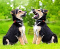 Cute puppy crossbreed dogs Stock Photography