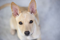 Cute puppy curiously looking Stock Image