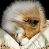 Cute Puppy Curled Up Asleep Stock Images