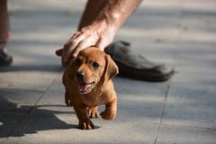 A cute puppy Dachshund runing on the floor in Vietnam. Stock Photos