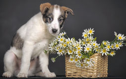 Cute puppy and  daisies Royalty Free Stock Photo