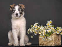 Cute puppy and  daisies Stock Photos