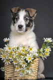 Cute puppy and  daisies Royalty Free Stock Photos
