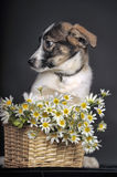 Cute puppy and  daisies Stock Images