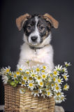 Cute puppy and  daisies Stock Photography
