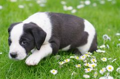 Cute puppy in daisy field Stock Image