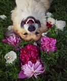 Dog corgi lies on a natural green meadow surrounded by lush grass and flowers of pink fragrant peonies happily. Cute puppy dog  stock image