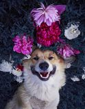 Cute puppy dog corgi lies on a natural meadow surrounded by lush grass and flowers of pink fragrant peonies happily uly. Cute puppy dog stock photography