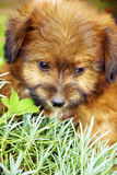 Cute puppy dog. Closeup of cute puppy dog lying on grass Royalty Free Stock Photos