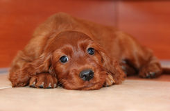 Cute puppy dog Stock Images