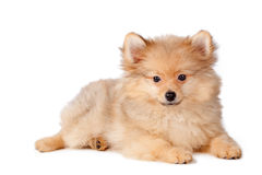 Cute puppy dog Stock Image