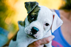 Cute Puppy Dog. Cute American Boxer Puppy Dog Royalty Free Stock Photography