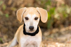 Cute Puppy Dog. Is an adorable little puppy dog looking at you with his big brown eyes Royalty Free Stock Photography