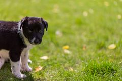 Very little puppy is running happily with floppy ears trough a garden with green grass. Cute puppy dog against foliage sunset blurred bokeh background. Border royalty free stock images