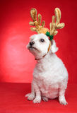 Cute puppy dog with antlers. A cute white maltese wearing reindeer antlers for Christmas.  Red background Stock Images