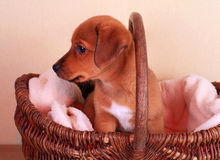 Cute puppy dog in basket Stock Photos