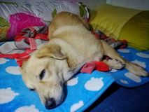 Cute lazy puppy dog on a bed Royalty Free Stock Photo