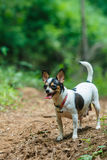 Cute puppy, dog, chihuahua stock image