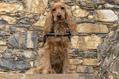 Cute puppy dog cocker spaniel portrait looking at you in the courtyard. Adorable baby puppy dog cocker spaniel portrait looking at you in the courtyard stock photos