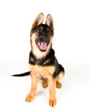 Cute puppy dog german shepherd Royalty Free Stock Photography