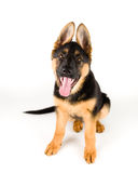 Cute puppy dog german shepherd isolated on white. Cute puppy dog german shepherd sitting down on white background. The dog is sitting down wiht it's mouth open royalty free stock image