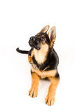 Cute puppy dog german shepherd looking up Royalty Free Stock Photography