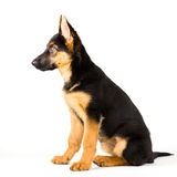 Cute puppy dog german shepherd sitting down Royalty Free Stock Photo