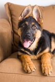 Cute puppy dog german shepherd in a sofa. Cute puppy dog german shepherd lying in a brown sofa. The dog is looking in the lens with his tongue sticking out stock photos