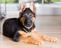 Cute puppy dog german shepherd on wooden floor Stock Photo