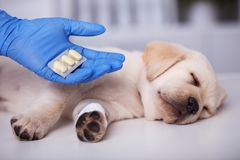 Cute puppy dog getting medication after treatment at the veterinary doctor. Cute puppy dog with bandage on its paw getting medication after treatment at the stock photo