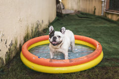 Cute puppy dog happy having a bath in a toy  swimming pool Stock Photos