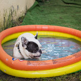 Cute puppy dog having a bath in a swimming pool Stock Photography