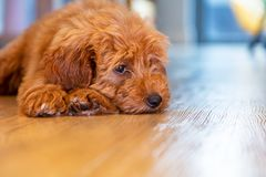 Cute Puppy Dog Laying Down Looking Sad royalty free stock photo