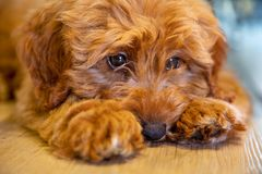 Cute Puppy Dog Laying Down Looking Sad royalty free stock photos
