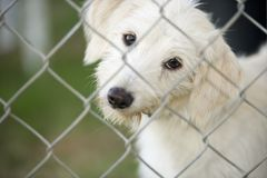 Cute Puppy Dog Looking Through Fence. A cute white puppy dog is tilting his head curiously and looking through a chain link fence Stock Images