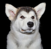 Cute puppy dog. Cute puppy Malamute dog against black background Stock Images