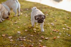 A cute puppy dog, pug is walking away from its parents, looking up to the camera with a sad face, on green grass and autumn leaves stock photo