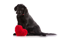 Cute puppy dog with a red heart. A lover valentine puppy dog with a red heart isolated on white background Stock Photo